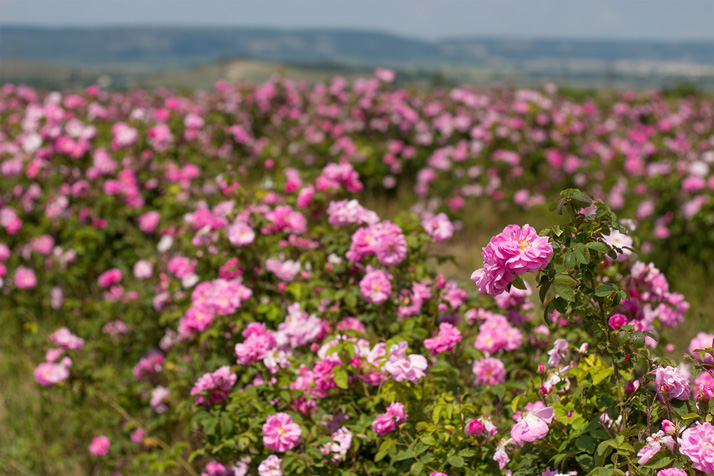obr rose fields chanel no5